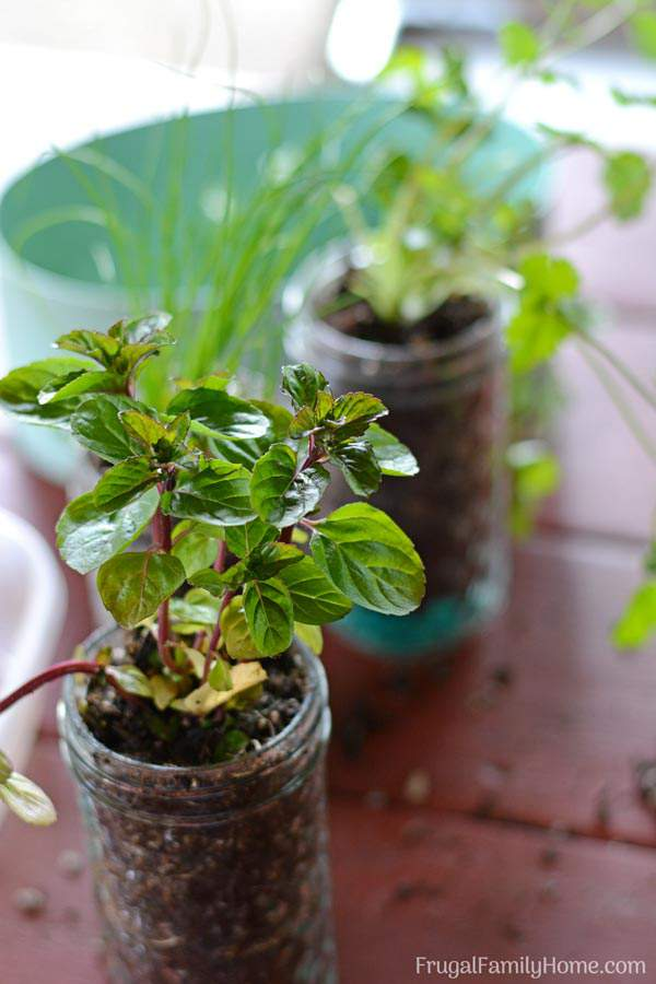 This easy DIY windowsill herb garden is quick, easy, and inexpensive to make. It would make a great gift for a gardener or someone who loves to cook with fresh herbs.